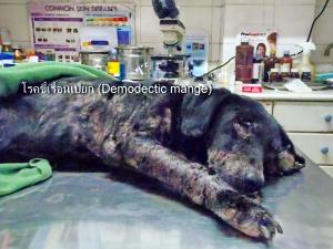 โรคขี้เรื้อนเปียกสุนัขแบบเป็นทั่วตัว