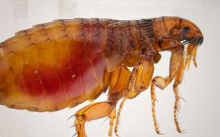 หมัด (Flea)
