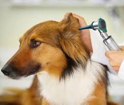 การตรวจหูสุนัข เพื่อตรวจสภาพช่องหูกรณีสงสัยมีปัญหาเกาหรือสะบัดหูผิดปกติ